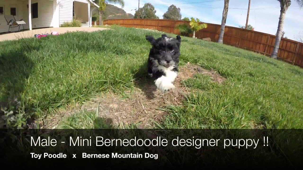 Scout Male Mini Bernedoodle Designer Puppy For Sale In San Diego