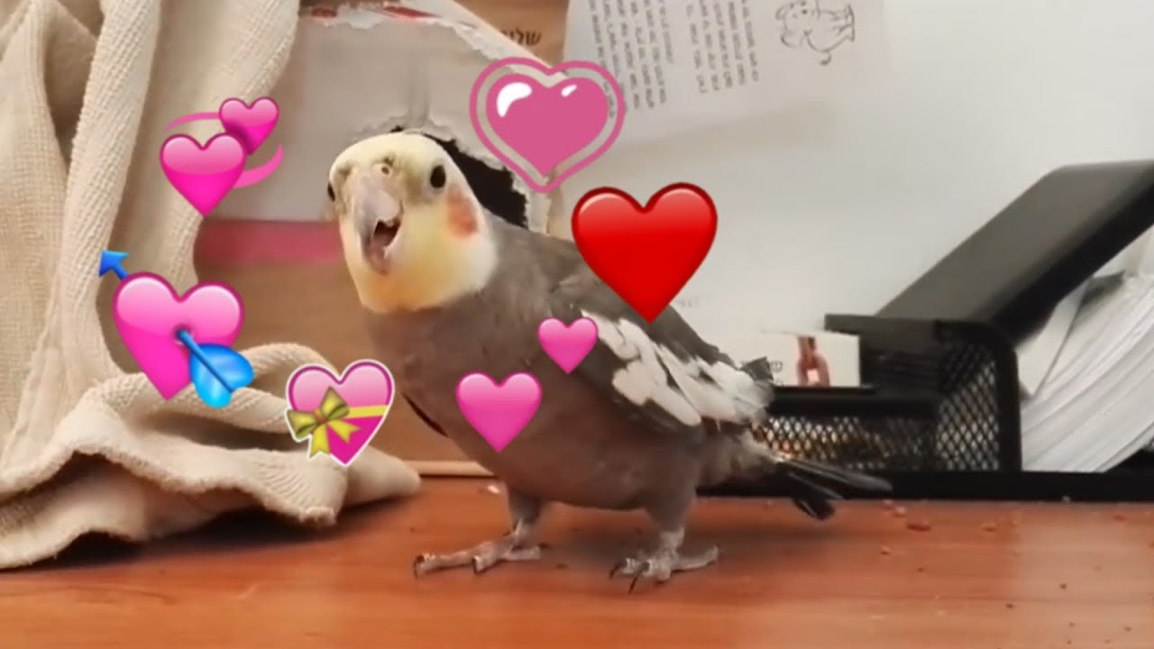 how to make your cockatiel love you