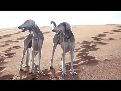 كل المعلومات عن اسرع كلب صيد في العالم الكلب العربي الاصيل SALUKI DOG