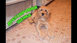 #Английский кокер спаниель #Дрессировка щенка 3 месяца
