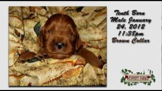Amazing Birth 3 ~ Irish Setter Puppies