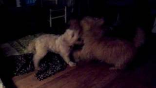 Col. Potter Cairn Terrier Rescue/the Fight Club
