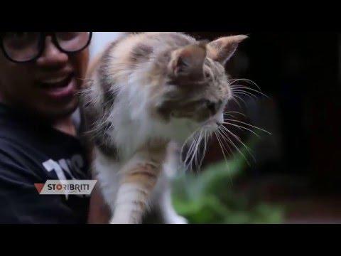 Uya Kuya Maine coon cat