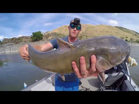Hunting FAT Snake River CATFISH | Ace Videos