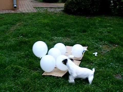 Jack Russell terrier Bodza the killer of the ballons :)