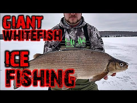 GIANT WHITEFISH And Lake Trout Ice Fishing