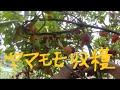 家庭菜園 モロヘイヤ と ヤマモモ(山桃)収穫 の動画、YouTube動画。