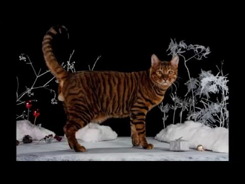 Photos of my cat breed Toyger