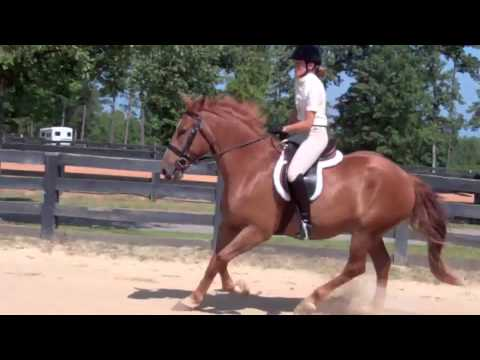 Belgium Draft Quarter Horse Cross For Sale Youtube