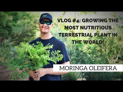 MORINGA: Growing THE MOST NUTRITIOUS Terrestrial Plant in the World!
