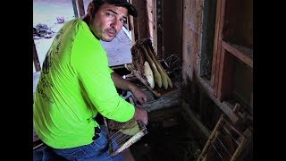 Honey Bee hive removal in old home in Donna, TX  by Luis Slayton of Bee Strong Honey