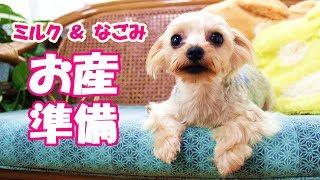 【ヨークシャーテリア専門犬舎チャオカーネ】 もうすぐお産を控えてる【...