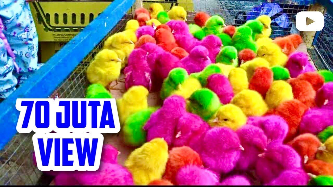Ayam lucu warna warni | Ayam Rainbow Beli di Pasar | Vlog Adiva Ainun #1