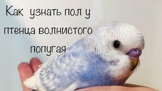 Как узнать пол у птенца волнистого попугая