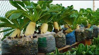 Mẹo tái chế rác thải nilon để trồng củ cải trắng |Tips to recycle plastic waste to grow white radish