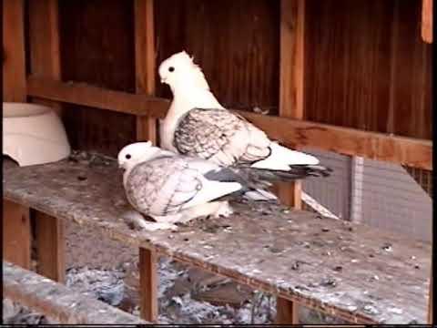 Фильмы порнография голуби видео