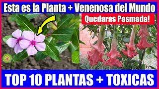 Esta es la Planta Mas Toxica del Mundo Quedaras Pasmada!! Nunca la Tengas Dentro de tu Casa!