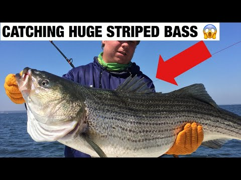 Striped Bass Catch N Cook (GIANT)