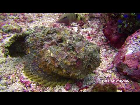 Stonefish (2)  |  Stock Video For Sale