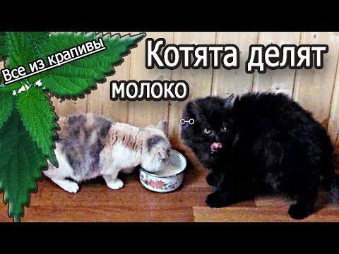 Котята делят молоко. Смешно! Два кота и миска молока. Смешные животные. Все из крапивы.