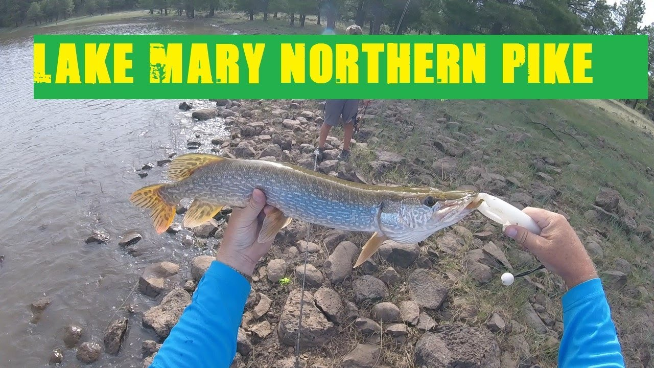 Great Fishing For Northern Pike At Lake Mary Arizona Youtube