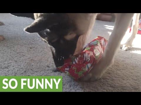 German Shepherd enthusiastically opens Christmas present