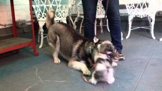 Georgy Girl The Maltese-shih Tzu And Luka The Husky At Play!
