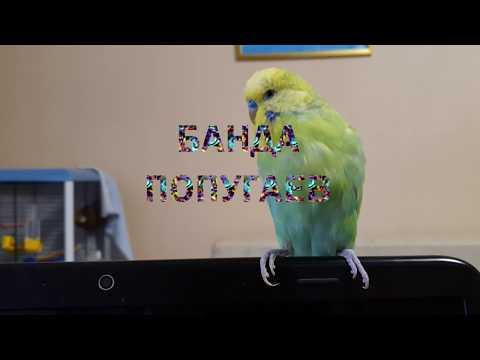 Вопрос: Как часто и продолжительно в норме может линять волнистый попугай?