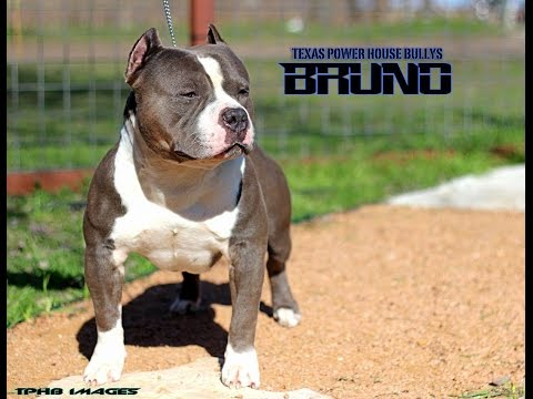 TEXAS POWER HOUSE BULLIES BRUNO - BBATV MASCOT TEASER