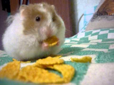 Что едят хомяки?   Все о животных - theAnimalw com