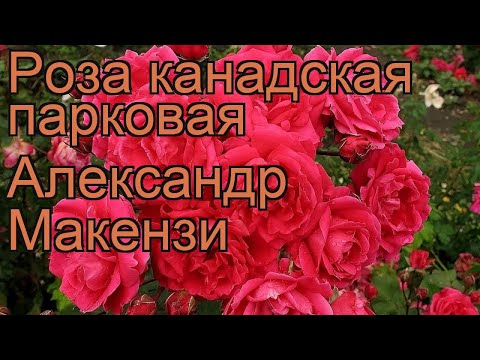 Роза канадская парковая Александр Макензи 🌿 обзор: как сажать, саженцы розы Александр Макензи