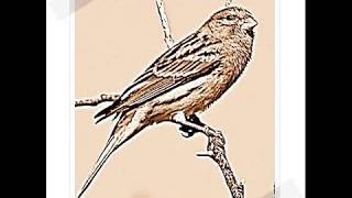 el cante del canario timbrado