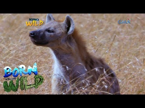 Born to Be Wild: Close encounter with hyenas