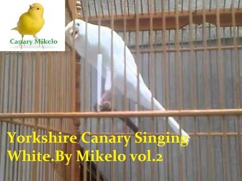 White Yorkshire Canary Singing TRAINING CD vol. 2