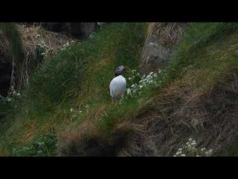 Atlantic Puffin Rathlin Island Ireland