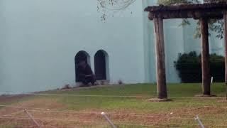 Download Gorila ataca as crianças com pedaço de pau Mp3