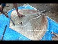 #NeverSeenBefore | Marbled Electric Ray Fish | Very Rare Fish Cutting  Big Fish Cutting street food