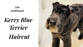 Kerry Blue Terrier in a Non Traditional Style