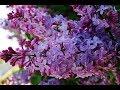 Purple Flower Lilacs - Syringa vulgaris (lilac or common lilac) - Indian Purple Flower Chain