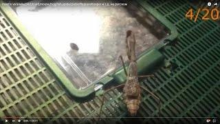 Video mantis vs snake,bird,lizard,mouse,frog,fish,spider,butterfly,grasshooper,etc with censure download MP3, 3GP, MP4, WEBM, AVI, FLV Desember 2017