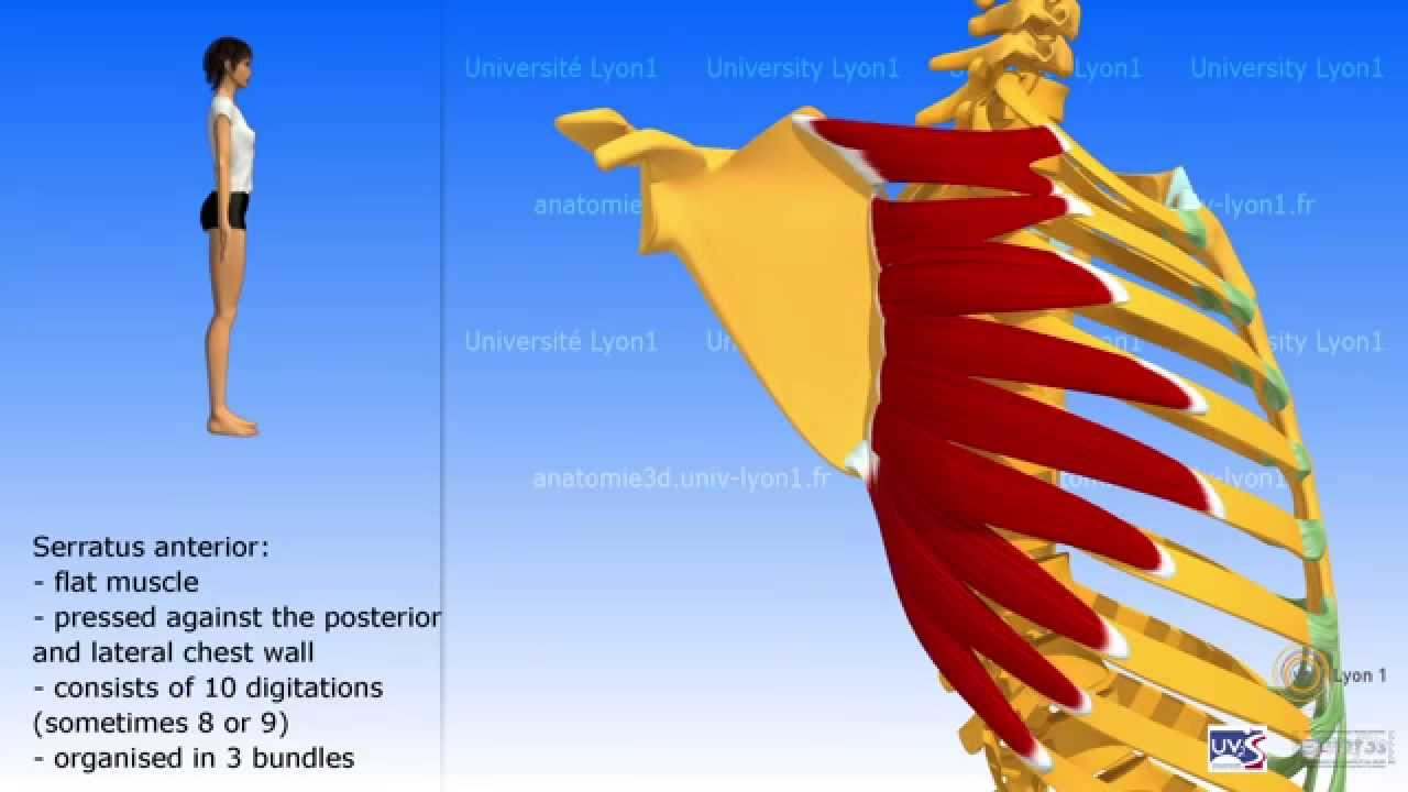 The serratus anterior - YouTube