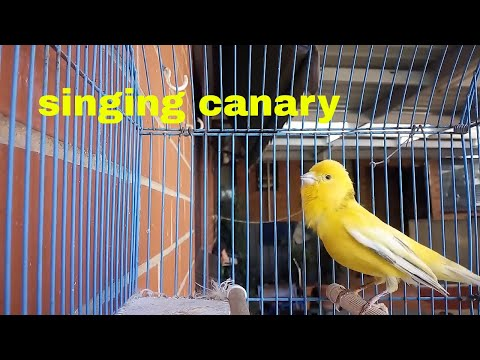 Pet Canary Singing - My Canary Bird Video Yellow Canary bird singing