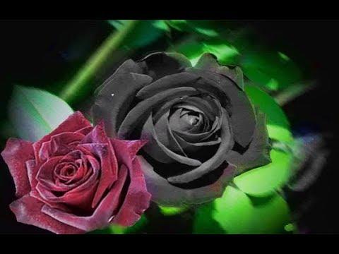 شاهد إبداع الخالق الوردة السوداء النادرة في منطقة حالافاتي التركية Youtube
