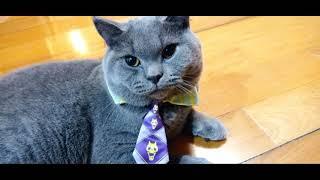 British Shorthair Cat Video compilation   British Shorthair Cat   Cat Video Compilation