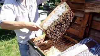 Серая Горная Кавказская порода пчел. Отбор рамок для откачки.
