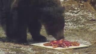 Медведи предсказали теплое лето