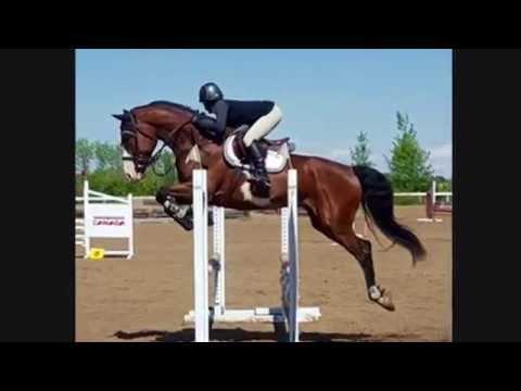 2009 CSHA gelding. 17 hh. Warmblood cross. Hunter/jumper/derby horse for sale