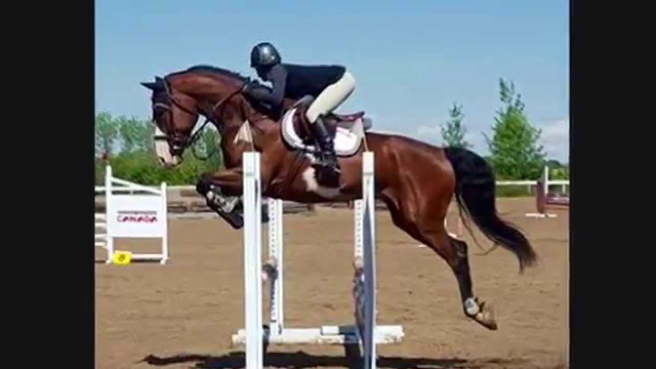 Paint Warmblood For Sale