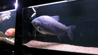 Большая рыба в аквариуме в минском зоопарке.(группа вконтакте: http://vk.com/pgshelp1 сайт: https://sites.google.com/site/na5balov заказать работу: ..., 2014-07-23T16:20:25.000Z)