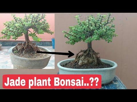How To Make Jade Bonsai Jade Bonsai Jade Plant Bonsai Youtube